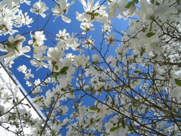 kcsb-magnolia-april-09-008
