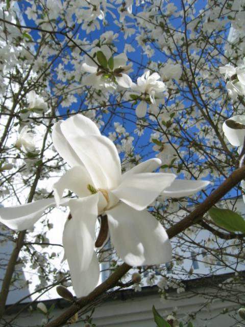 kcsb-magnolia-april-09-012