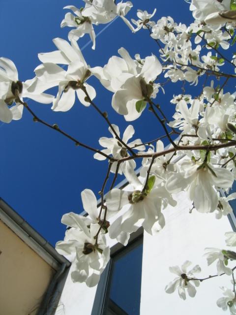 kcsb-magnolia-april-09-014
